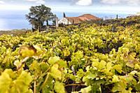 vineyards of malvasia grape. Fuencaliente. la palma. canary islands. spain.