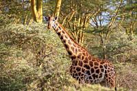 A Rothschild's giraffe (Giraffa camelopardalis rothschildi) walking in Nakuru National Park, Kenya.