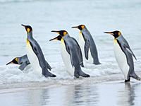 King Penguin (Aptenodytes patagonicus) on the Falkland Islands in the South Atlantic. South America, Falkland Islands, January.