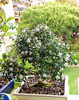 Cotoneaster Evergreen Flowering Bonsai Tree. Cotoneaster microphyllus is a fully frost hardy evergreen variety with tiny little leaves. In spring the ...