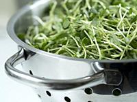 Close up of washed fenugreek (Trigonella foenum-graecum) shoots and leaves draining in stainless steel strainer.
