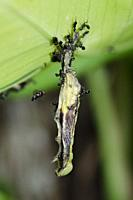 Caterpillar (Lepidoptera Order) hanging from leaf and infected with Nuclear Polyhedrosis Virus (NPV) with scavenging Ants (Crematogaster sp, Formicida...