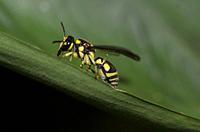 Solitary Potter Wasp (aka Mason Wasp, Gribodia sp, Eumeninae sub-Family, Vespidae Family) on leaf, Klungkung, Bali, Indonesia.