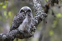 Juvenile Northern hawk-owl, Surnia ulula, sitting in a birch tree looking in to the camera, Gällivare county, Swedish Lapland, Sweden.