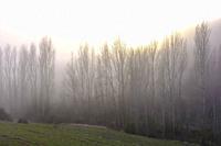 Poplar grove in the mist close to Torralba del Rio village. Navarre, Spain, Europe.