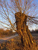 Poland. Early spring. Old willow tree at sunset