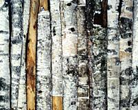 Poland. Birch logs
