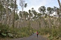 Lenga (southern beech) forest, Pumalin National Park, Patagonia, Region de los Lagos, Chile.