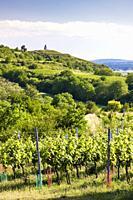 vineyards near Velke Bilovice, Czech Republic.