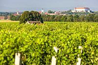vineyards, Siklos castle, Hungary.