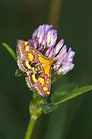 A purple borer is sitting on red clover.