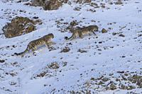 Asie, Mongolie, Ouest de la Mongolie, Montagnes de l'Altai, Panthère des neiges ou Léopard des neiges, Once ou Irbis (Panthera uncia), couple sur des ...