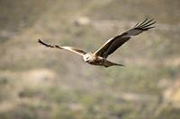 Red Kite (Milvus milvus) in flight. Pre-Pyrenees. Lleida province. Catalonia. Spain.