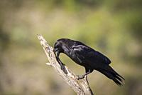 Common Raven (Corvus corax) perched on branch. Pre-Pyrenees. Lleida province. Catalonia. Spain.
