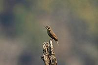 Chestnut-bellied rock thrush, female, Monticola rufiventris, Singalila National Park, Darjeeling, West Bengal, India.