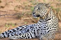 Male leopard, Okonjima Nature Reserve, Namibia