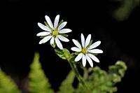 Flowers of chickweed (Stellaria media), Crete.