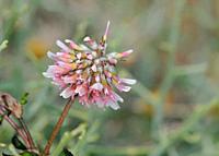 Trifolium resupinatum (reversed clover, Persian clover, shaftal), Crete.