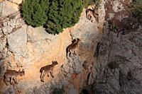 Mountains goats (Capra hispanica). A female and young walk on a vertical wall. Sierra Javalambre. Teruel. Spain.