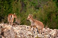 Mountain goat (Capra hispanica), female and young in the Sierra Javalambre. Teruel. Spain.