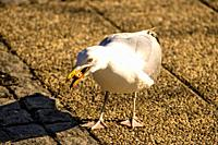 herring gull in a pedestrian area in Poland feeds bread.