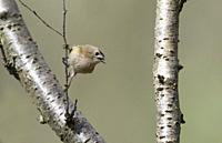 Goldcrest - Regulus regulus in song. Spring.