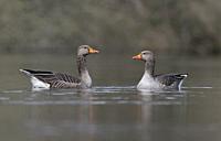 Pair of Greylag Geese-Anser anser. Uk.