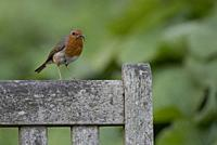 Robin-Erithacus rubecula takes food to young. Spring. Uk.