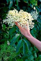 Woman Picked Elderflower Cordial in spring Garden.