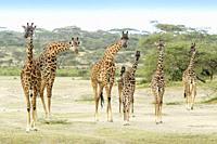 Masai Giraffe (Giraffe camelopardalis) herd with young standing on savanna, all looking at camera, Ngorongoro conservation area, Tanzania.