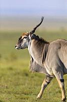 Common eland (Taurotragus oryx) in savanna, Maasai Mara National Reserve, Kenya, Africa.