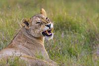 African Lion (Panthera leo) hissing, Maasai Mara National Reserve, Kenya, Africa.