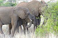 African bush elephants (Loxodonta africana), elephant baby with two young feeding on dry grass and roots, Kruger National Park, South Africa, Africa.