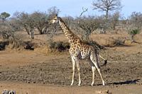 South African giraffe (Giraffa camelopardalis giraffa), adult standing at a dry waterhole, alert, Kruger National Park, South Africa, Africa.