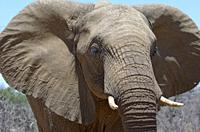 African bush elephant (Loxodonta africana), adult male, animal portrait, close-up, Kruger National Park, South Africa, Africa.