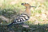 Hoopoe (Upupa epops) containing the dawn, Extremadura, Spain.