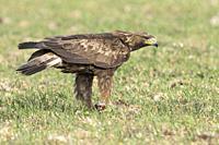 Golden eagle (Aquila chrysaetos) eating its prey, Extremadura, Spain.