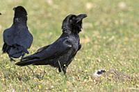 Common Raven (Corvus corax) walking on the floor of the Dehesa, Extremadura, Spain.