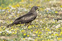 Black kite (Milvus migrans) perched on the ground, in the Dehesa, Extremadura, Spain.