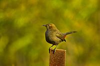 Brown rockchat or Indian chat, Oenanthe fusca standing on a metal pole, Pune, Maharashtra, India.