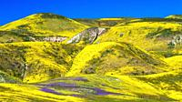 Wildflowers in the Temblor Range, Carrizo Plain National Monument, California USA.