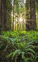 Redwoods and sword ferns; Cal Barrel Road, Prairie Creek Redwoods State Park, California.