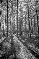 Pine tree plantation. Shady forest. Cape Town, South Afrivca.