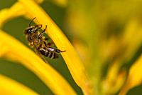 Honey bee crawls into a flower to collecting oils to mix with pollen. Body length up tp 20mm.