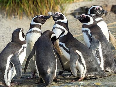 Social interaction and behaviour in a group. Magellanic Penguin (Spheniscus magellanicus). South America, Falkland Islands, January.