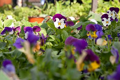 Potted pansies on display at the farmers market in March, selective focus.