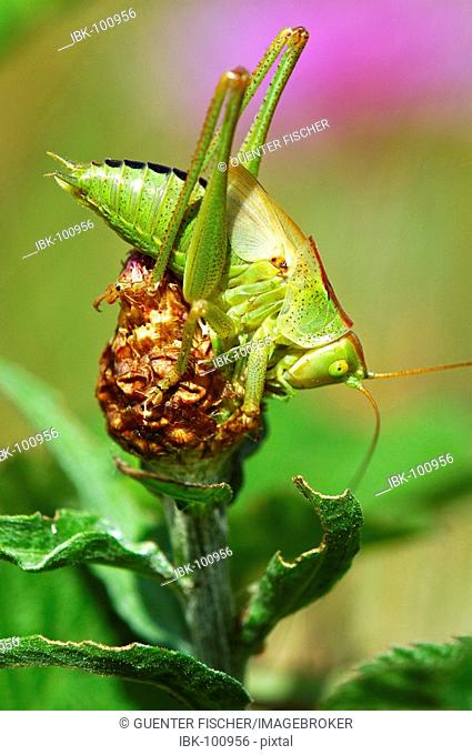 Great Green Bush-cricket Tettigonia viridissima