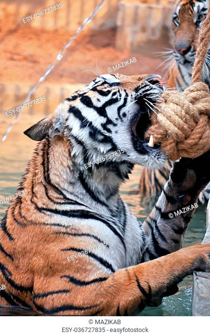 Tigers, like children and dogs, can be taught to modify their behavior through the skilled application of reward and discipline