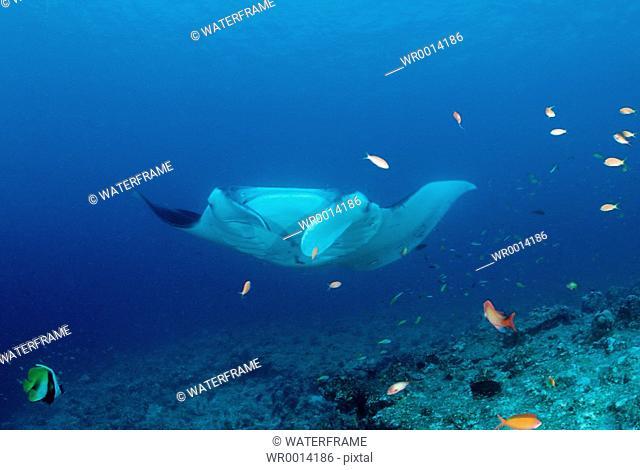 Manta, Manta birostris, Indian Ocean, Maldives Island