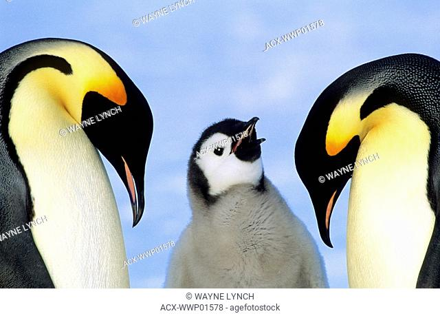 Adult emperor penguins Aptenodytes forsteri and chick, Atka Bay colony, Weddell Sea, Antarctica
